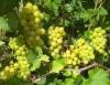 Виноград Запирири