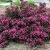 Вейгела цветущая Нана Пурпуреа P9